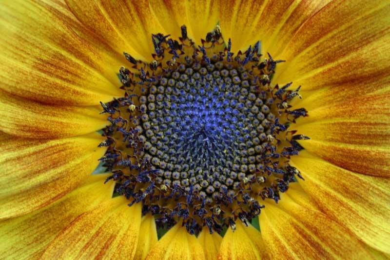 sunflower-closeup